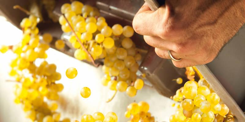 Climats du Vignoble de Bourgogne - Vendange - Chardonnay