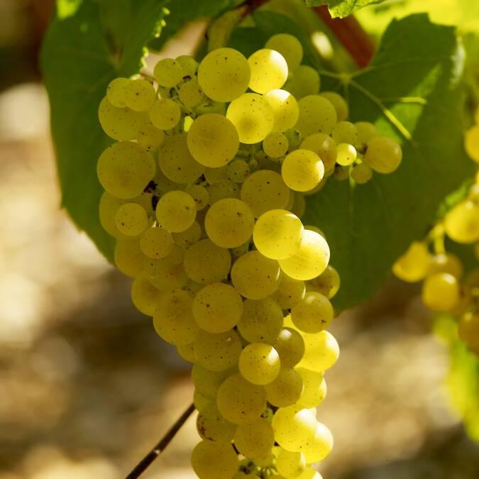 Montrachet, Grappe de Chardonnay