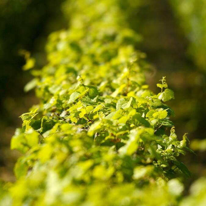 Vignes de Montrachet