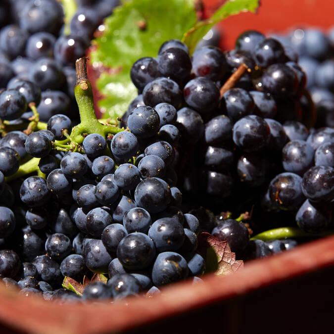Pinot noir vendanges